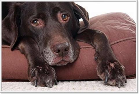Dogilike.com :: โรคพยาธิในเม็ดเลือด ภัยเงียบที่มากับเห็บ