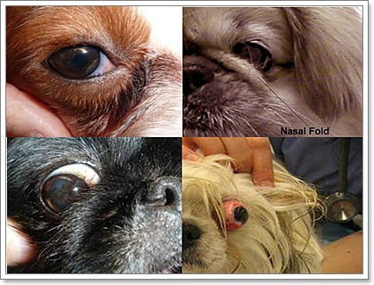 Dogilike.com :: 5 ปัญหาสุขภาพของหมาพันธุ์ (เล็ก) หน้าสั้น