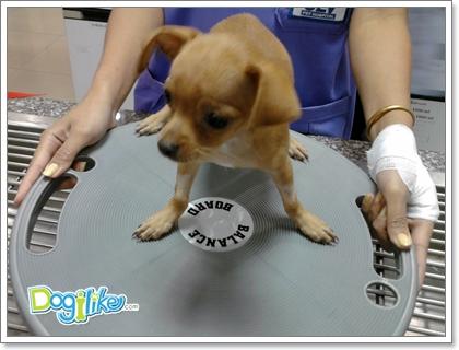 Dogilike.com :: โรคสะบ้าเคลื่อน ... อันตรายที่(อาจ)เกิดได้ในสุนัขพันธุ์เล็ก