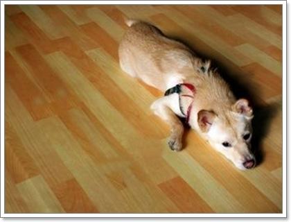 Dogilike.com :: อาการไอเรื้อรัง สัญญาณร้ายในสุนัขพันธุ์เล็ก ตอนที่ 1