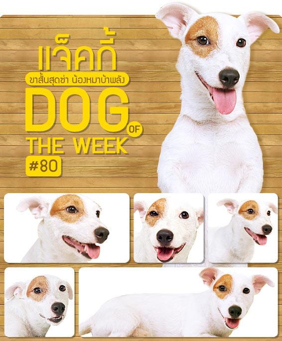 แจ็คกี้ , น้องหมา , สุนัข , แจ๊ครัสเซลล์ เทอร์เรีย , แจ็ค , น่ารัก ,   วิธีฝึกสุนัข , นิสัยสุดแนว, dog of the week 80
