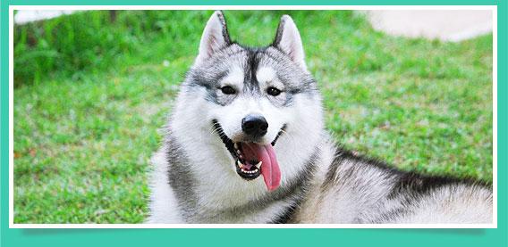 โบย่า , น้องหมา , สุนัข ,ไซบีเรียน ฮัสกี้ , แจ็ค , น่ารัก ,   วิธีฝึกสุนัข , วีรกรรมสุดแสบ, หมาเมืองหนาว, หิมะ, dog of the week 81
