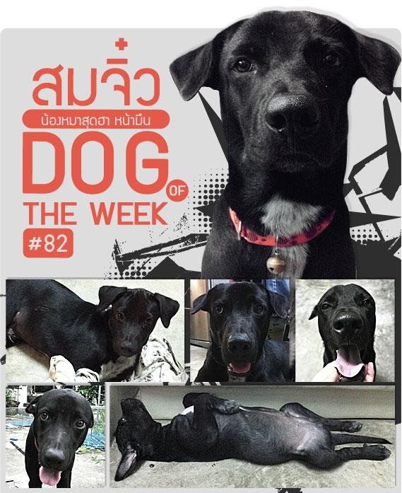 สมจิ๋ว , น้องหมา , สุนัข ,พันธุ์ทาง ,  วิธีฝึกสุนัข , วีรกรรมสุดแสบ, dog of the week 82
