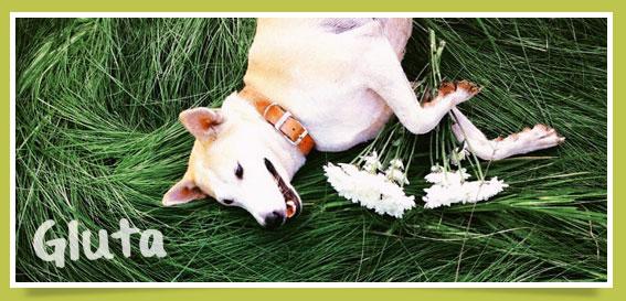 gluta, กลูต้า, น้องหมา , สุนัข ,  วิธีฝึกสุนัข , วีรกรรมสุดแสบ, dog of the week 86
