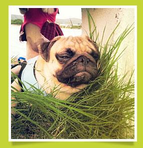 นัองหมา, สุนัข, ปีโป๊, น่ารัก, เยลลี่ปีโป, การดูแล, ทะเล ,หน้าย่น, เทคนิคการเลี้ยงดู, dog of the week 89