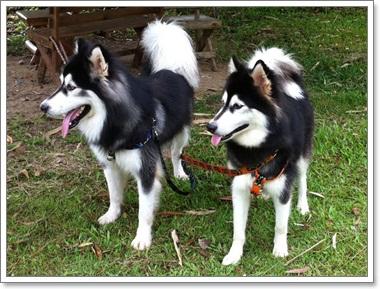 Dogilike.com :: อลาสกัน มาลามิวท์ น้องหมาสายพันธุ์ที่น่ากอดที่สุด