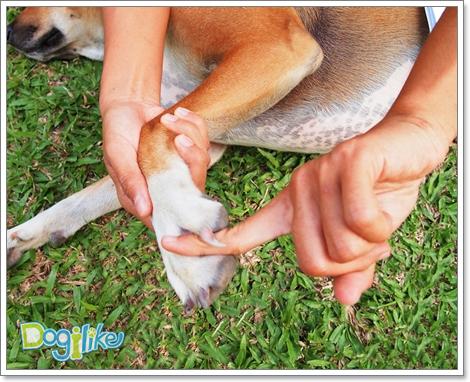 Dogilike.com :: ผ่อนคลายน้องหมาด้วยการนวดขา – อุ้งเท้า [ตอนที่ 7]