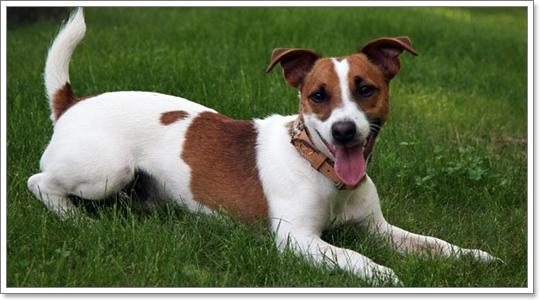 Dogilike.com :: 6 สายพันธุ์น้องหมาทนความร้อน