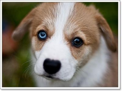 Dogilike.com :: เคยสงสัยไหม ทำไมน้องหมา(บางตัว) ถึงมีตา 2 สี?