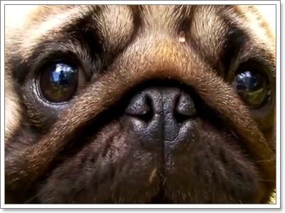 Dogilike.com :: เผย 10 เสน่ห์น้องหมาพันธุ์ปั๊กที่ครองใจคนทั่วโลก