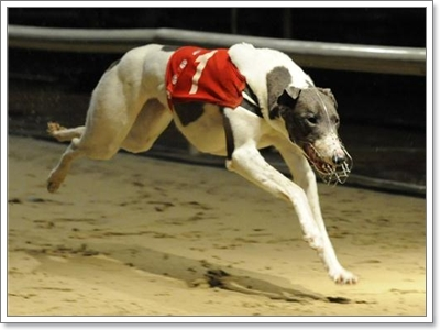 Dogilike.com :: ท้าประชัน! 5 สายพันธุ์ น้องหมาที่วิ่งเร็วที่สุดในโลก
