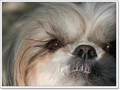 Dogilike.com :: หลากเรื่องราวของน้องหมาชิสุ ที่หลายคนอาจยังไม่รู้