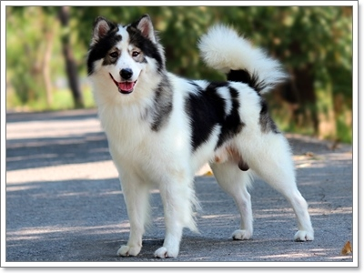 Dogilike.com :: น้องหมาบางแก้วที่เหมาะเข้าประกวด ควรมีลักษณะอย่างไรบ้าง