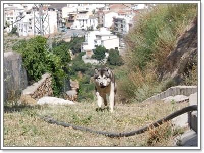 Dogilike.com :: สารพันเรื่องควรรู้ก่อนเลี้ยงไซบีเรียน ฮัสกี้