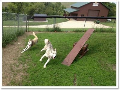 Dogilike.com ::  วิธีจัดการ 4 พฤติกรรมสุดแสบของน้องหมาไซบีเรียน
