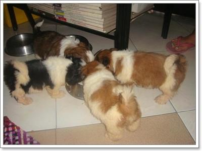 Dogilike.com :: ไขปัญหาคาใจ ... นิสัยไว้ตัวของน้องหมาชิสุ
