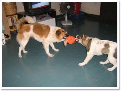 Dogilike.com :: พฤติกรรมหมาป่าที่ยังมีอยู่ในตัวน้องหมาไทยบางแก้ว