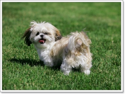 Dogilike.com :: จัดการ 3 พฤติกรรม น่าหนักใจของน้องหมาชิสุ