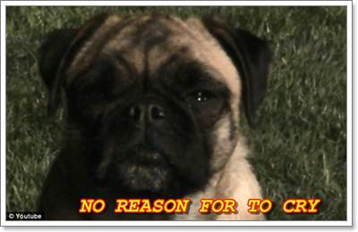 Dogilike.com :: คลิปสุดฮา! น้องหมาปั๊กร้องเพลงเล่าเรื่องราวชีวิต