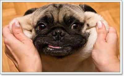 Dogilike.com :: เทคนิคสยบปัญหา 5 จุดเหม็นในน้องหมาปั๊ก