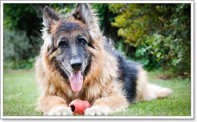 Dogilike.com :: สุนัขพันธุ์ใหญ่กับโภชนาการที่เหมาะสม ...