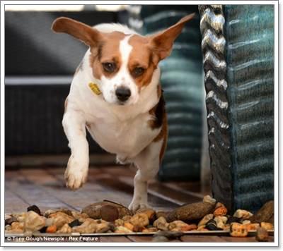 Dogilike.com :: Monty น้องหมา 2 ขา ที่มีความสุขที่สุดในโลก!