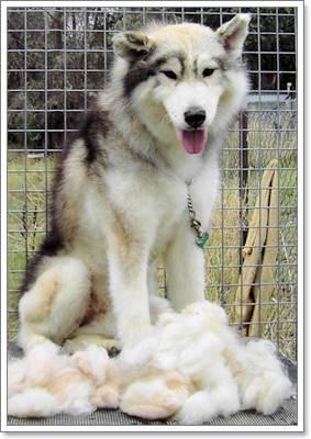 Dogilike.com :: ไซบีเรียน ฮัสกี้ กับวิธีการดูแลขนที่ถูกต้อง!!