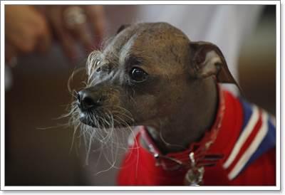 Dogilike.com :: เริ่มแล้ว! สหรัฐฯแข่งขันสุนัขน่าเกลียดที่สุดในโลก