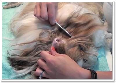 Dogilike.com :: 5 ปัญหาสุขภาพที่พบบ่อยในสุนัขสายพันธุ์ชิสุ