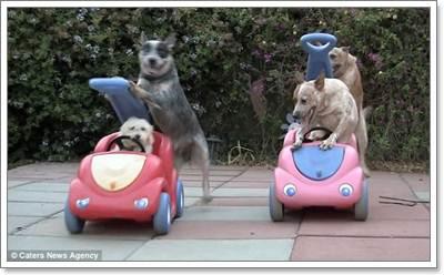 Dogilike.com :: สื่อนอกเผย! คลิปสุดฮาน้องหมาขับรถของเล่นกับเพื่อน