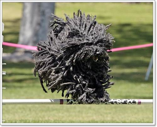 Dogilike.com :: สายพันธุ์น้องหมาที่ดูแลขนยากที่สุดในโลก
