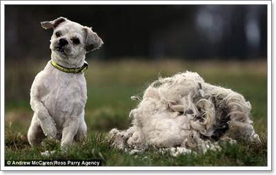 Dogilike.com :: อึ้ง! พบสุนัขถูกทิ้งขนเป็นสังกะตัง ไถออกหนักเกือบ 1 กิโล