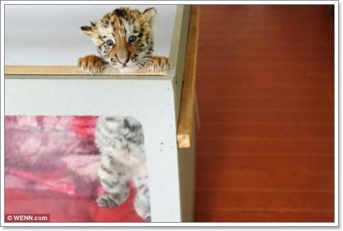Dogilike.com :: แสนน่ารัก! แม่สุนัขรับเลี้ยง 2 ลูกเสือโครงไซบีเรีย