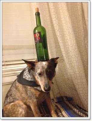 Dogilike.com :: Jack มะหมามหัศจรรย์ สามารถเทินสิ่งของไว้บนหัวได้ทุกชนิด!