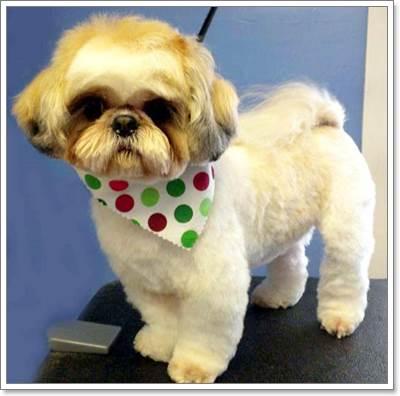 Dogilike.com :: ดูแลขนน้องหมาชิสุยังไงให้สวยเป๊ะ!