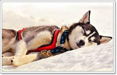 Dogilike.com :: เลี้ยง ไซบีเรียน ฮัสกี้ ยังไงให้มีสุขภาพดี