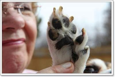 Dogilike.com :: นิ้วติ่งสุนัข ... อวัยวะที่ต้องการการดูแล
