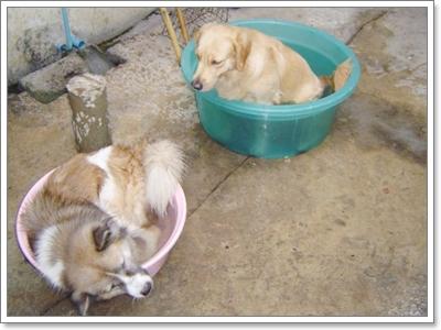 Dogilike.com :: ภาพฮาๆ น้องหมาไทยบางแก้วกับอ่างน้ำส่วนตัว