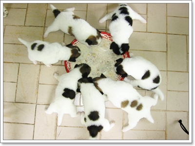 Dogilike.com :: รวมภาพน่ารักๆ ของน้องไทยหมาบางแก้ว