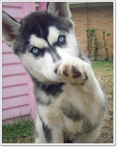 Dogilike.com :: รวมภาพหน้าแปลกๆ ของไซบีเรียน ภาค 2