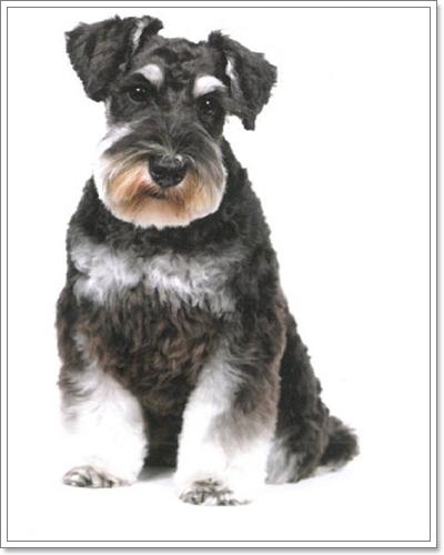 Dogilike.com :: แฟชั่นทรงขนฮิตๆ ของน้องหมาชเนาเซอร์