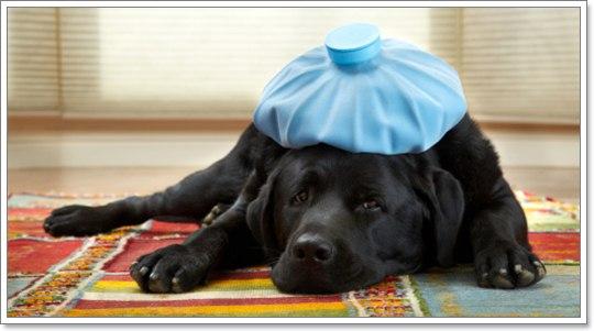Dogilike.com :: เคยได้ยินไหม ไข้ สุนัข (สุดแปลก) จากทั่วโลก
