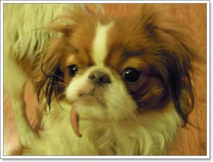 Dogilike.com :: Hanging tongue syndrome ความผิดปกติของหมาลิ้นห้อย