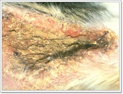 Dogilike.com :: รู้รอยโรคผิวหนังของสุนัข (เบื้องต้น) ด้วยตนเอง