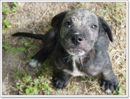 Dogilike.com :: โรคไรขี้เรื้อนในน้องหมารักษากันอย่างไร