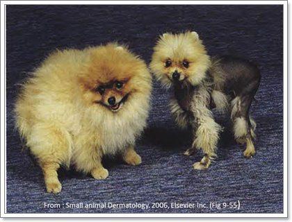 Dogilike.com :: Alopecia X โรคขนร่วงประหลาดในสุนัข