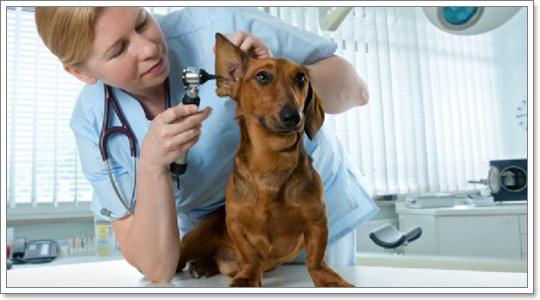 Dogilike.com :: 4 วิธีรับมือปัญหาช่องหูส่วนนอกอักเสบในสุนัข