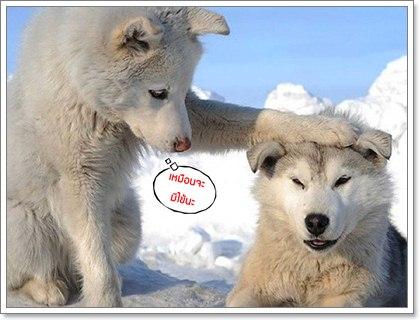Dogilike.com :: 10 โรคเด่นในสุนัขพันธุ์ไซบีเรียน ฮัสกี้ ตอนที่ 1