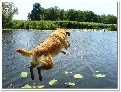 Dogilike.com :: สุนัขบางแก้วชอบเล่นน้ำต้องระวัง!! เสี่ยงป่วยเป็นโรคฉี่หนู
