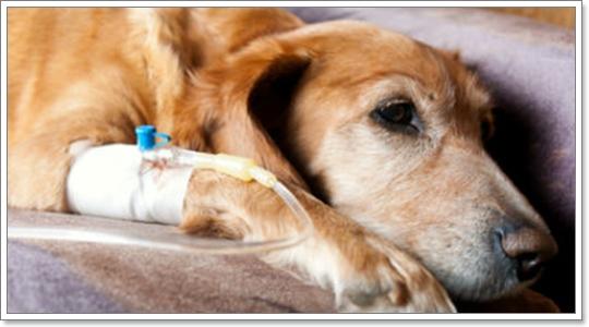Dogilike.com :: ข้อควรรู้เมื่อสุนัขป่วยเป็นมะเร็งต้องทำคีโม